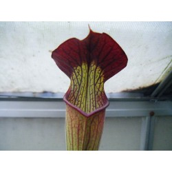 Sarracenia alata 'pubescent, red throat'