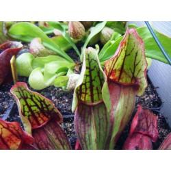 Sarracenia purpurea var. montana