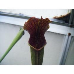 Sarracenia rubra ssp. jonesii