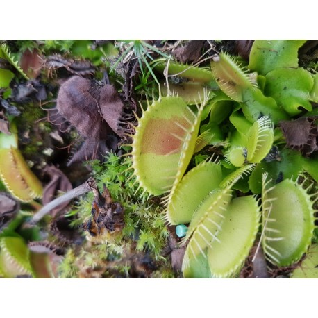 Dionaea 'patch'