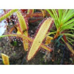 Drosera capensis 'large leaf'
