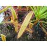 Drosera capensis 'large leaf'