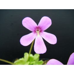 Pinguicula x bailly