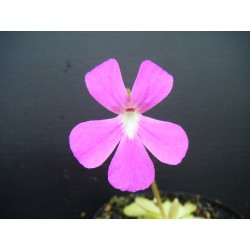 Pinguicula x weser