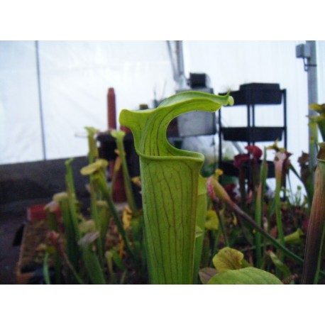 Sarracenia alata 'giant, very green pitchers, few veins'