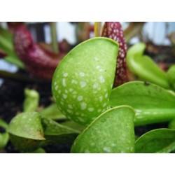 Sarracenia psittacina 'heterophylla'