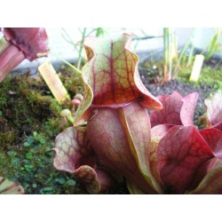 Sarracenia purpurea subsp. venosa