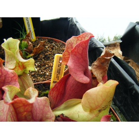 Sarracenia purpurea subsp. venosa 'Louis Burke'