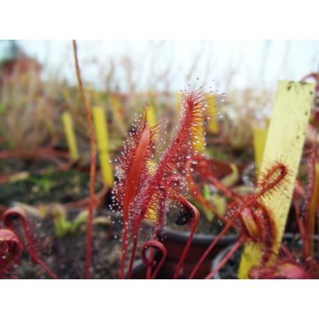 Drosera capensis 'red'