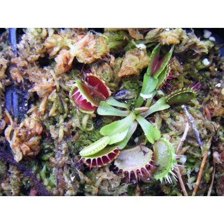 Dionaea 'fused tooth'