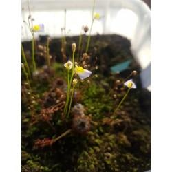 Utricularia bisquamata 'Baines Kloof'