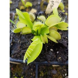 Dionaea 'all green'