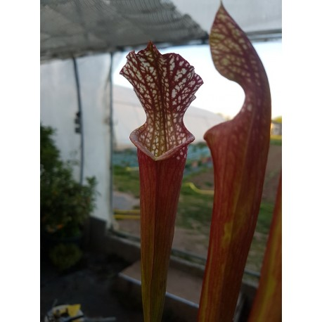 Sarracenia leucophylla 'bonbon'
