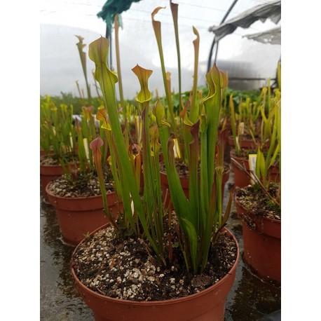 Sarracenia flava var. cuprea 'small form'