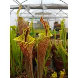 Sarracenia 'lidless'