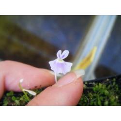 Utricularia sandersonii 'blue'