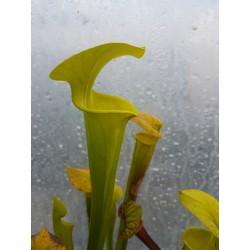 Sarracenia flava var. maxima