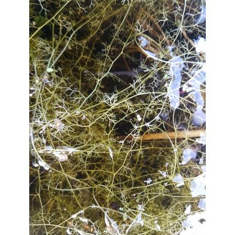 Utricularia bremii