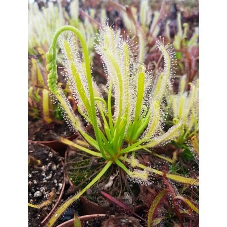 Drosera capensis 'alba'