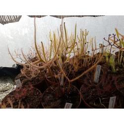 Drosera binata 'feuilles cuivrée'