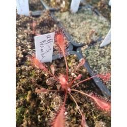 Drosera affinis 'Namibia'