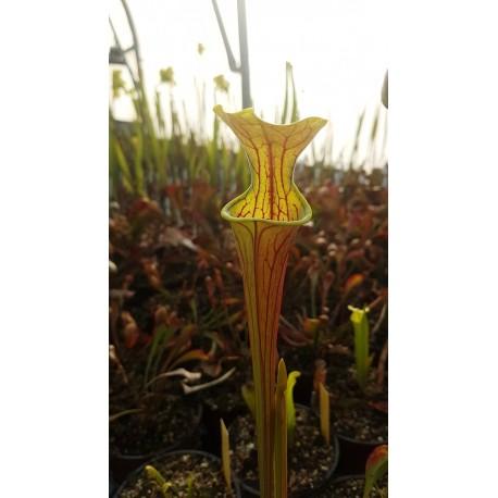 Sarracenia oreophila 'heavy veined'