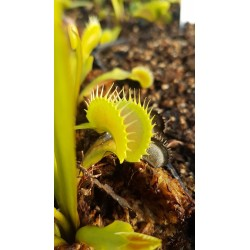 Dionaea 'tiger teeth'