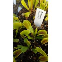 Dionaea 'dentate'