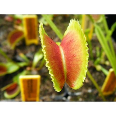 Dionaea 'sawtooth'