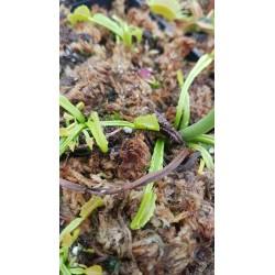Dionaea 'mars'
