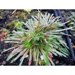 Stylium caespitosum