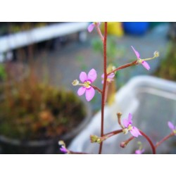 Stylidium debile